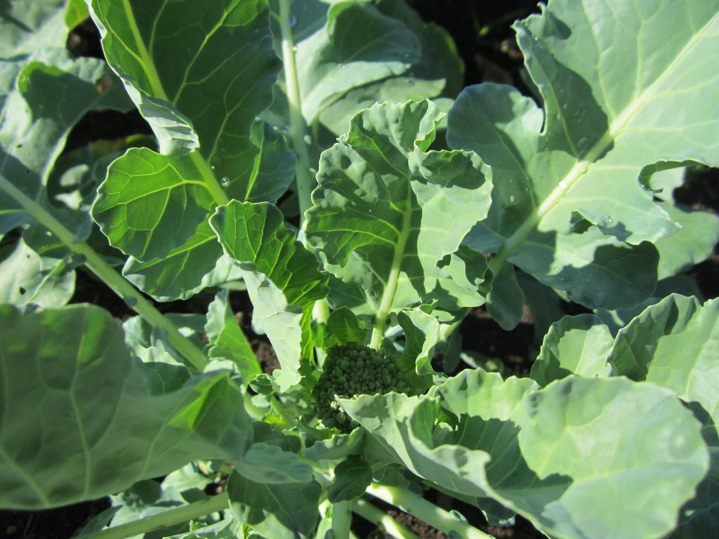 Brassica rapa (Tronchuda Group)