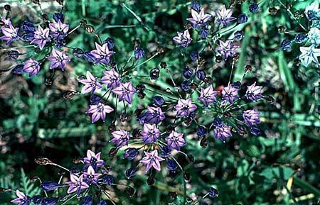 Brodiaea laxa (Tritelia)