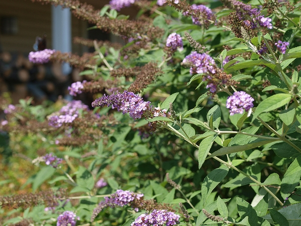 Buddleia davidii 'Nanho Purple'