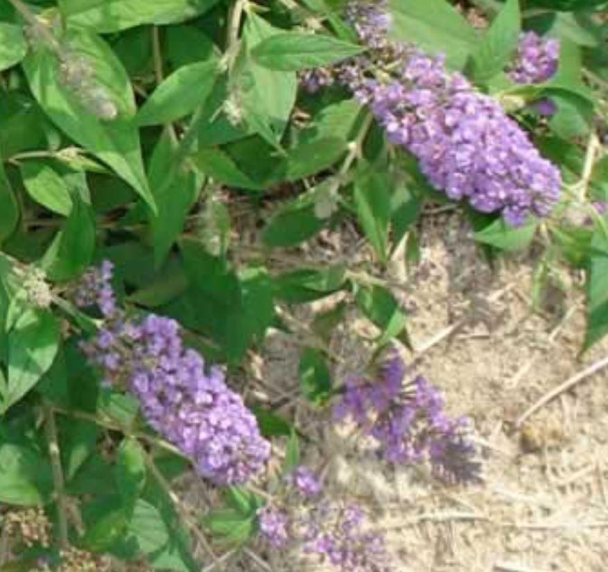 'Blue Chip' blossom