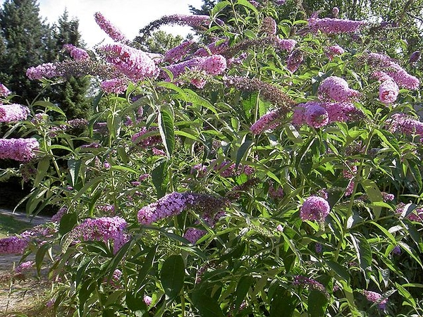 Buddleia davidii Whole plant form