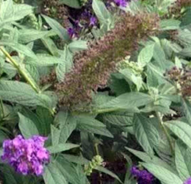 'Miss Violet' leaves