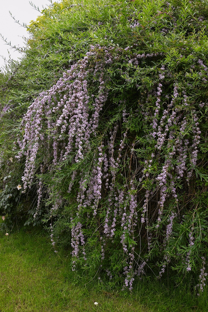 Buddleja alternifolia (fountain butterfly bush)