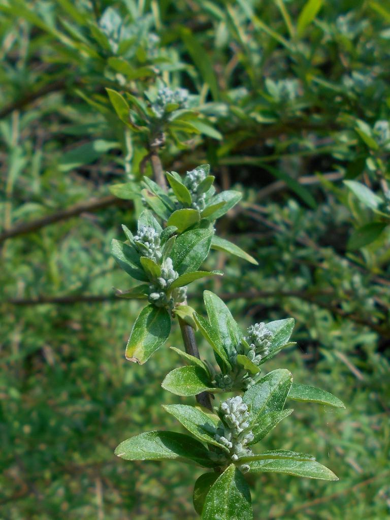 Buddleja alternifolia leaves