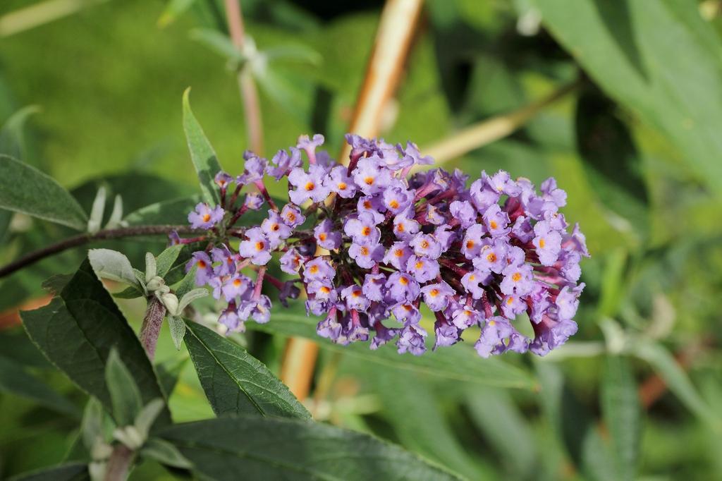Buddleja alternifolia 'Nanho Purple'