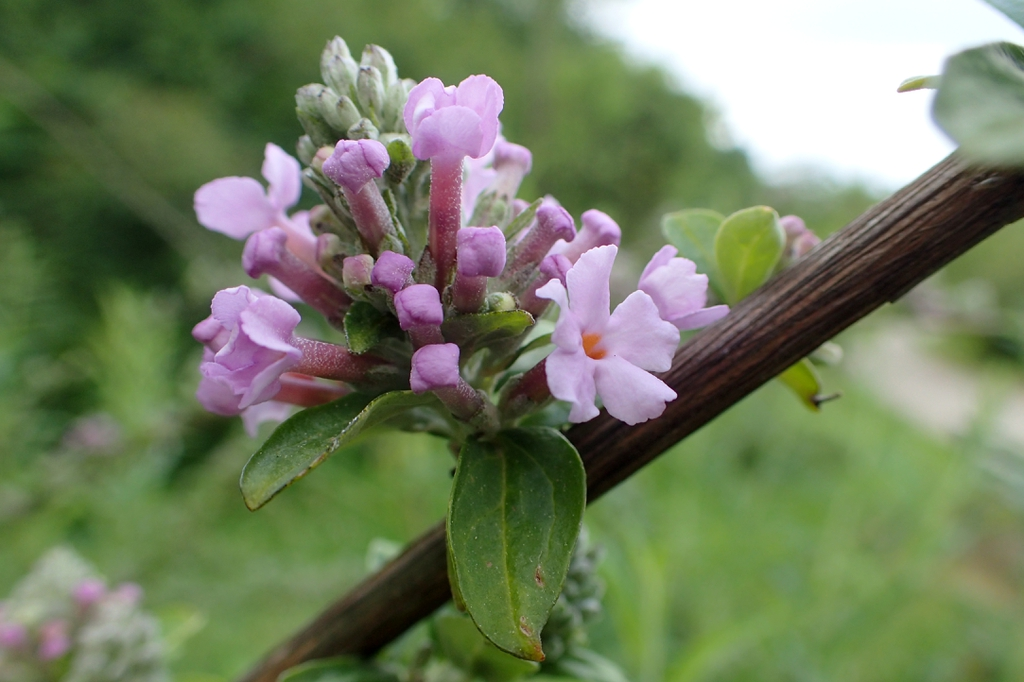 Buddleja alternifolia flowers