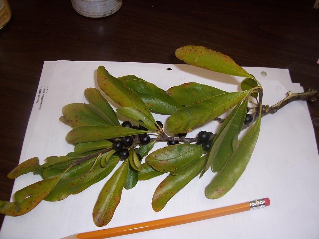 Bumelia lanuginosa Leaf