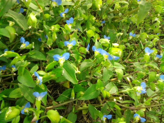 Commelina communis bush form