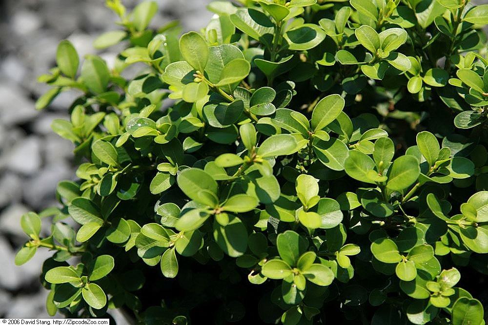 Buxus microphylla