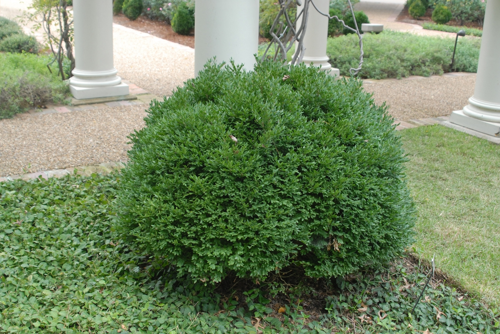 Buxus 'Green Velvet'