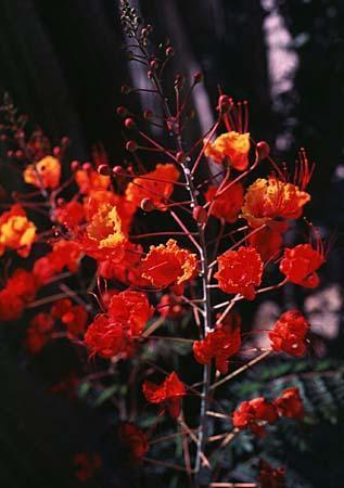Caesalpinia spp.