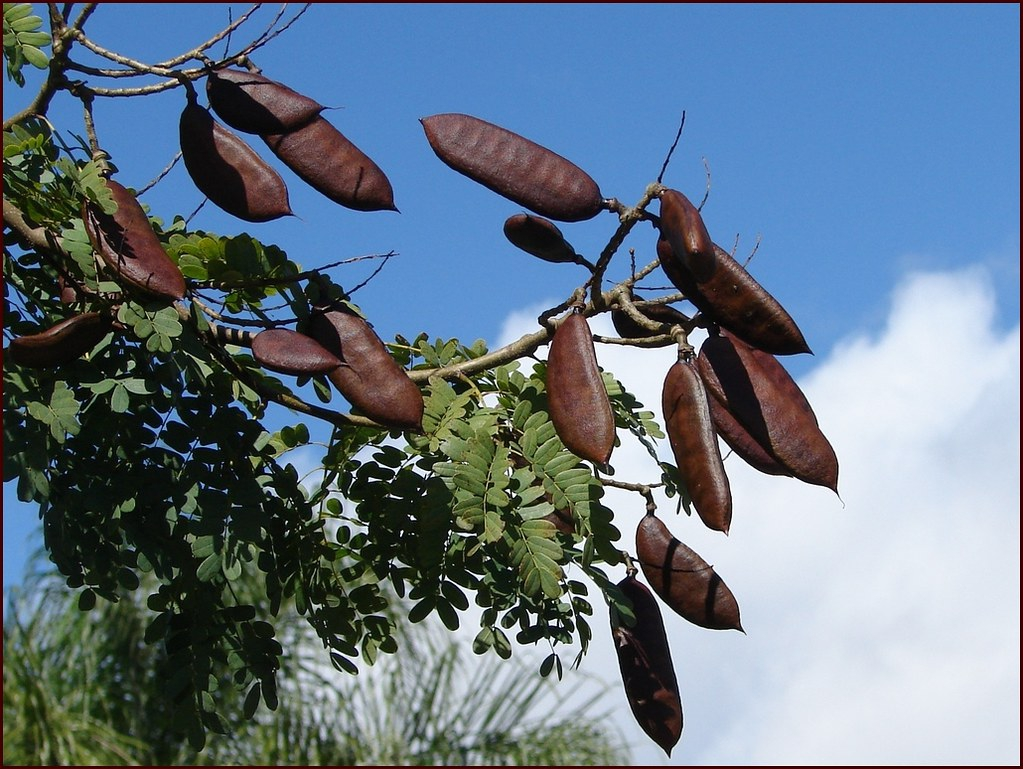 Fruit of C. ferrea