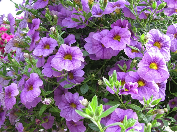Calibrachoa sp.