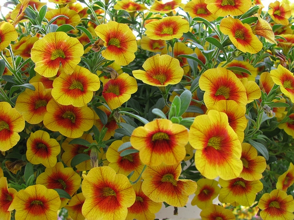Calibrachoa xhybrida