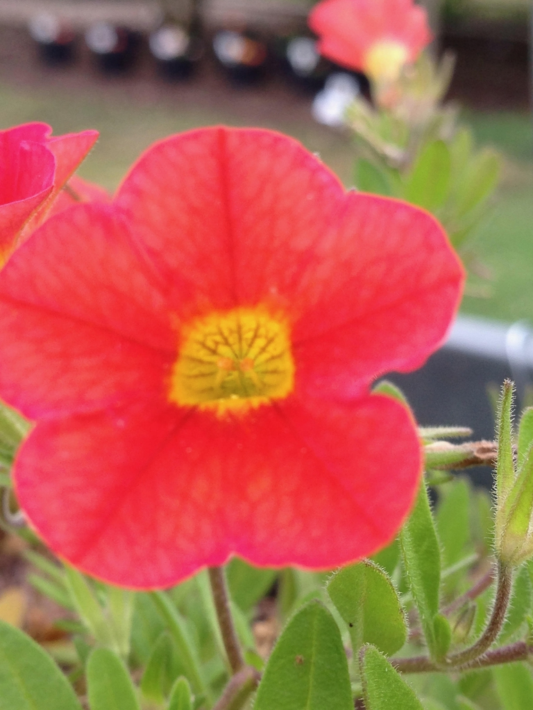Calibrachoa 'MiniFamous Neo Deep Orange'