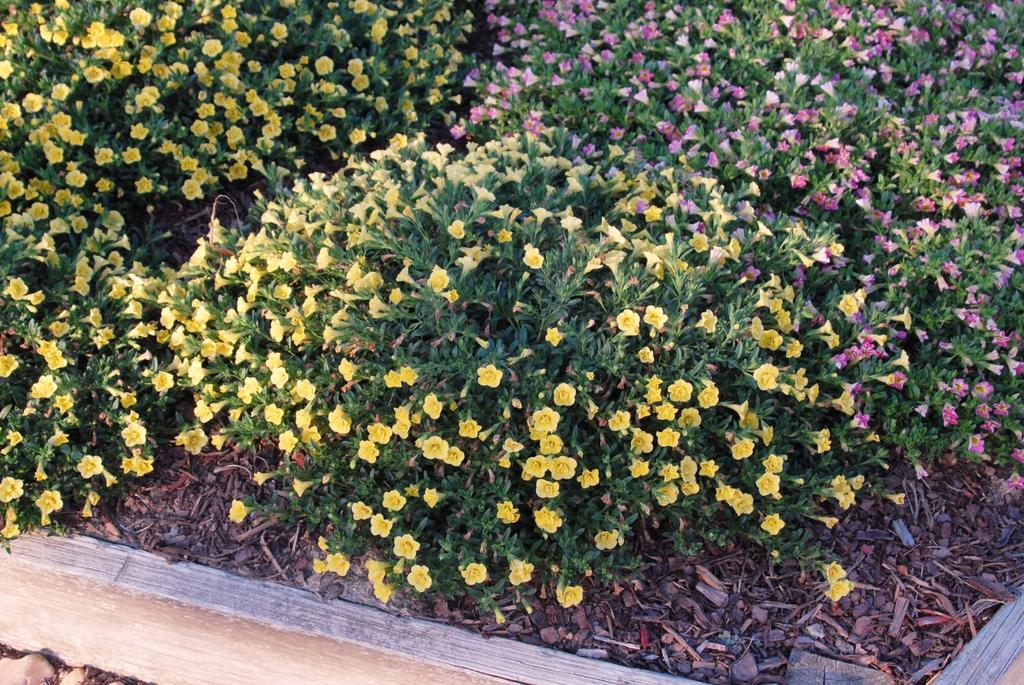 Calibrachoa x hybrida