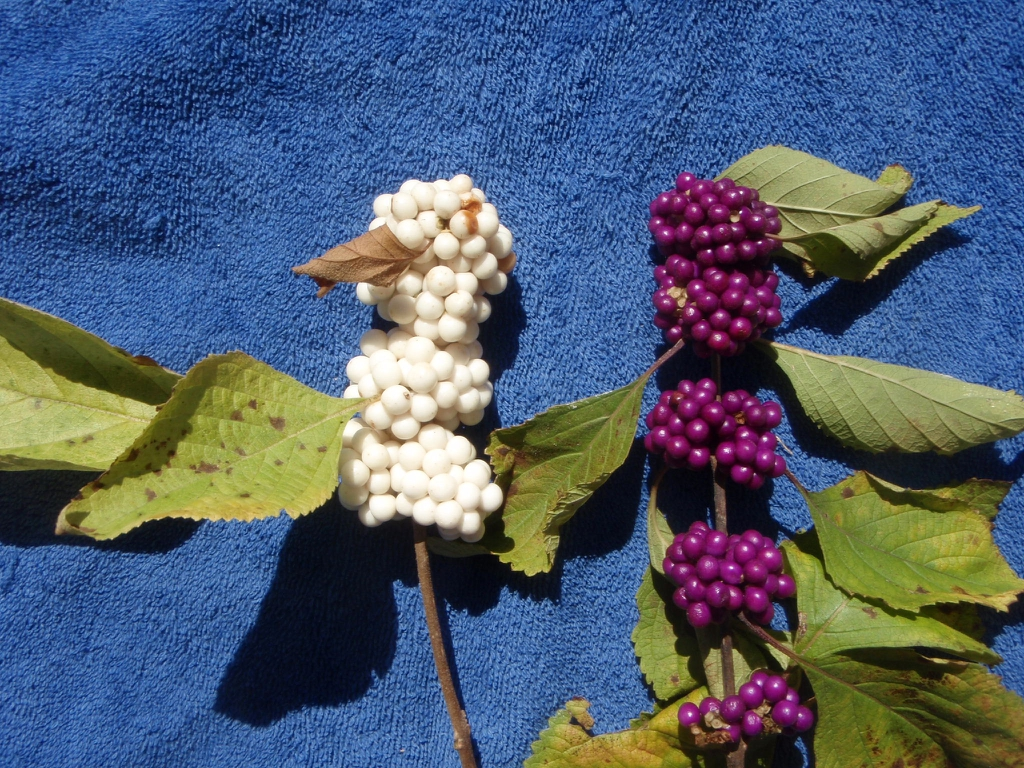 Callicarpa americana 'Alba' - berries comparison