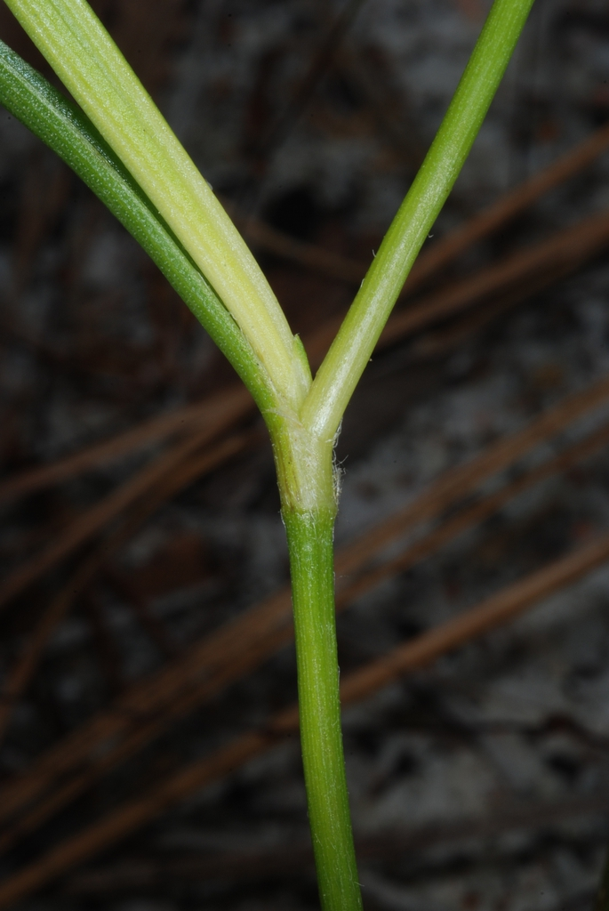 Sessile leaf juncture (Bladen County, NC)-Early Summer