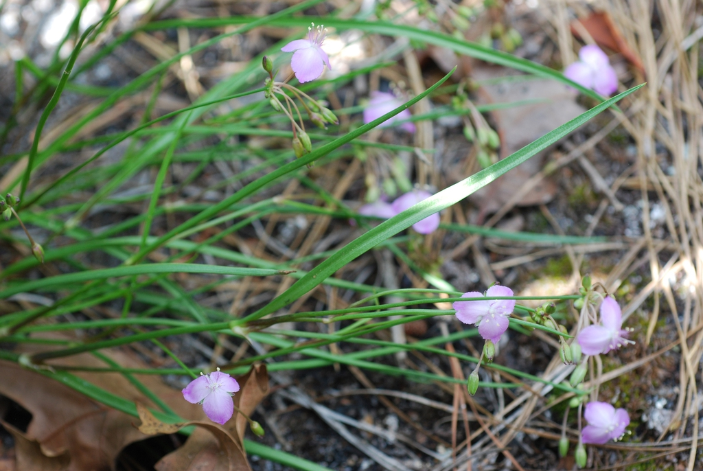 Flowers and leaves (Bladen County, US-NC)-Early Summer