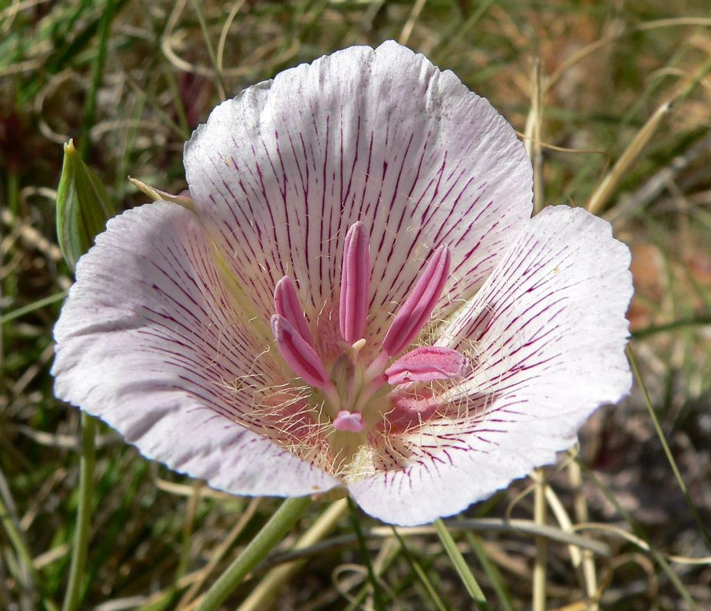 Calochortus striatus
