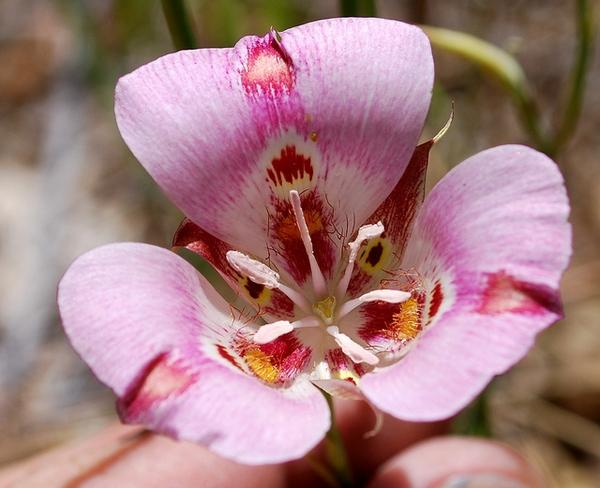 Calochotus venustus