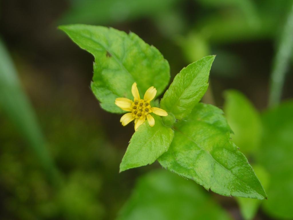 Calyptocarpus vialis
