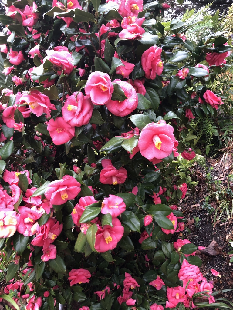 Camellia - Flowers - March 17 -Wake County