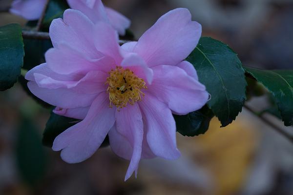 Camellia 'Winter's Charm'