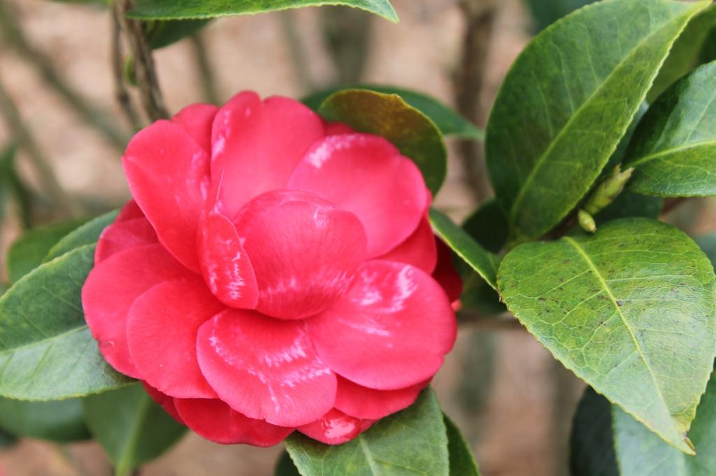 Camellia japonica Black Tie skdavidson nhc master gardener flowe