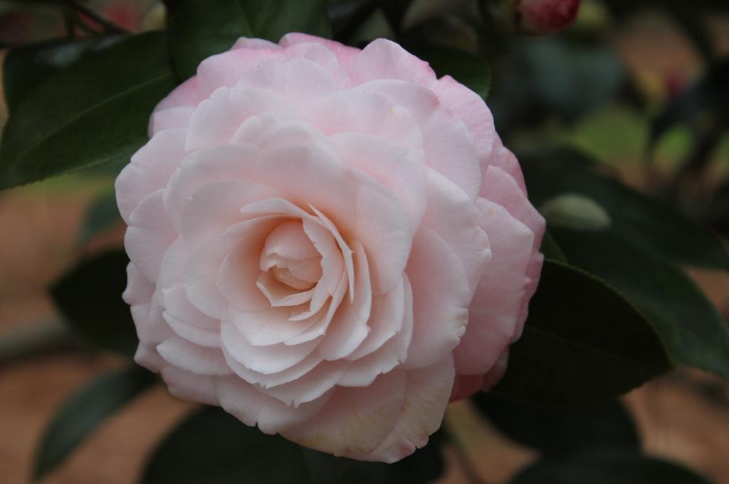 Camellia japonica Grace Albritton skdavidson nhc master gardener