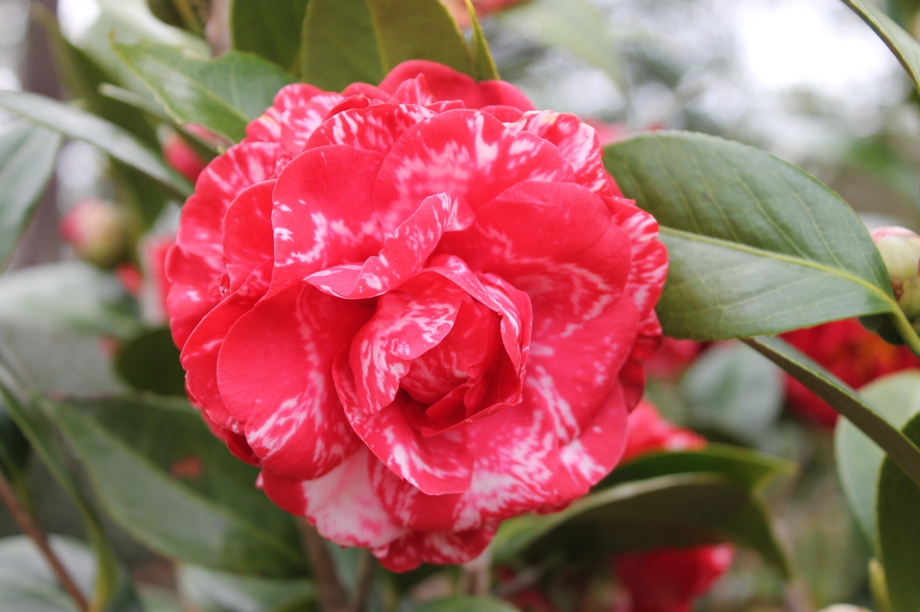 Camellia japonica Magic City skdavidson nhc master gardener flow
