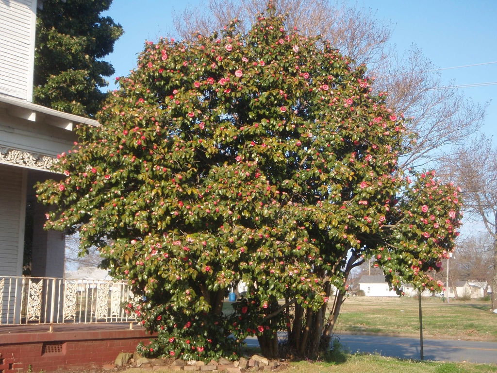 Camellia japonica - in bloom full plant