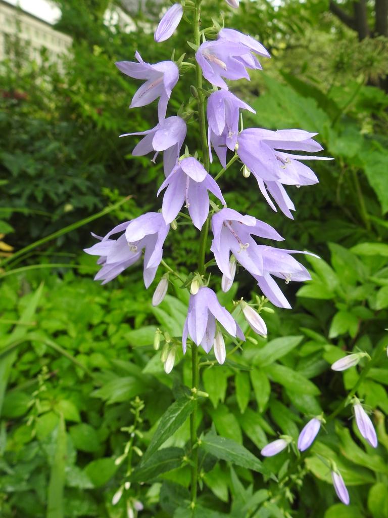 Campanula trachelium flower