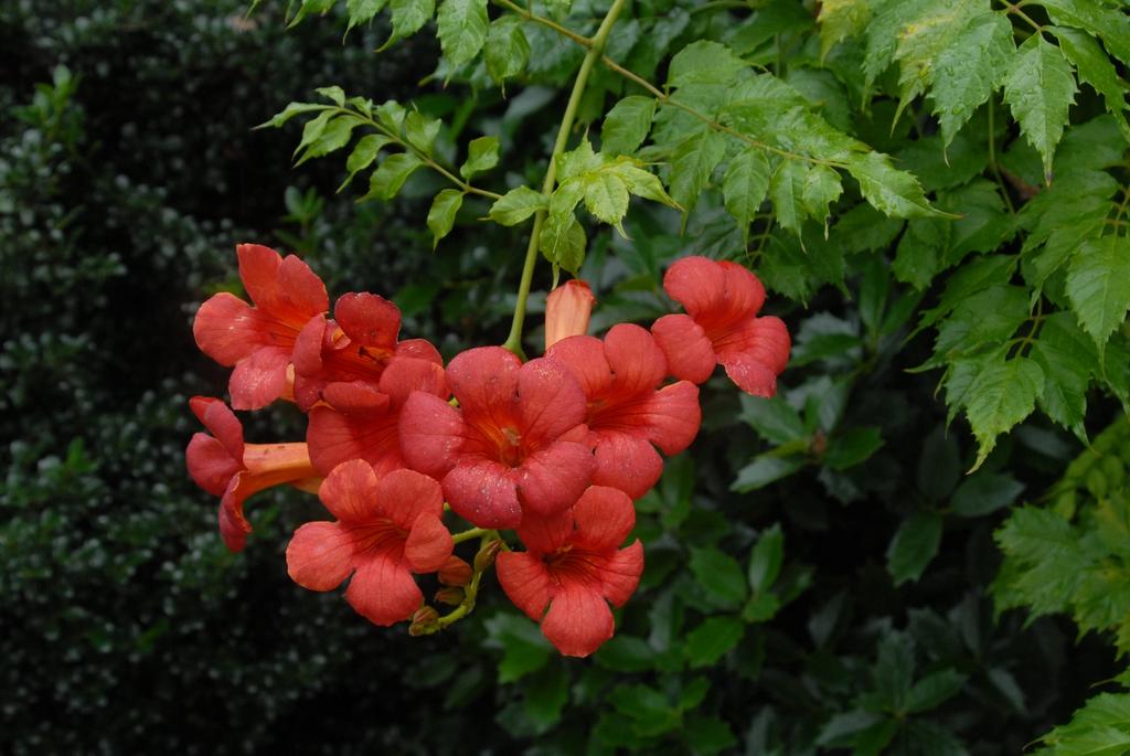 'Crimson Trumpet' Flower