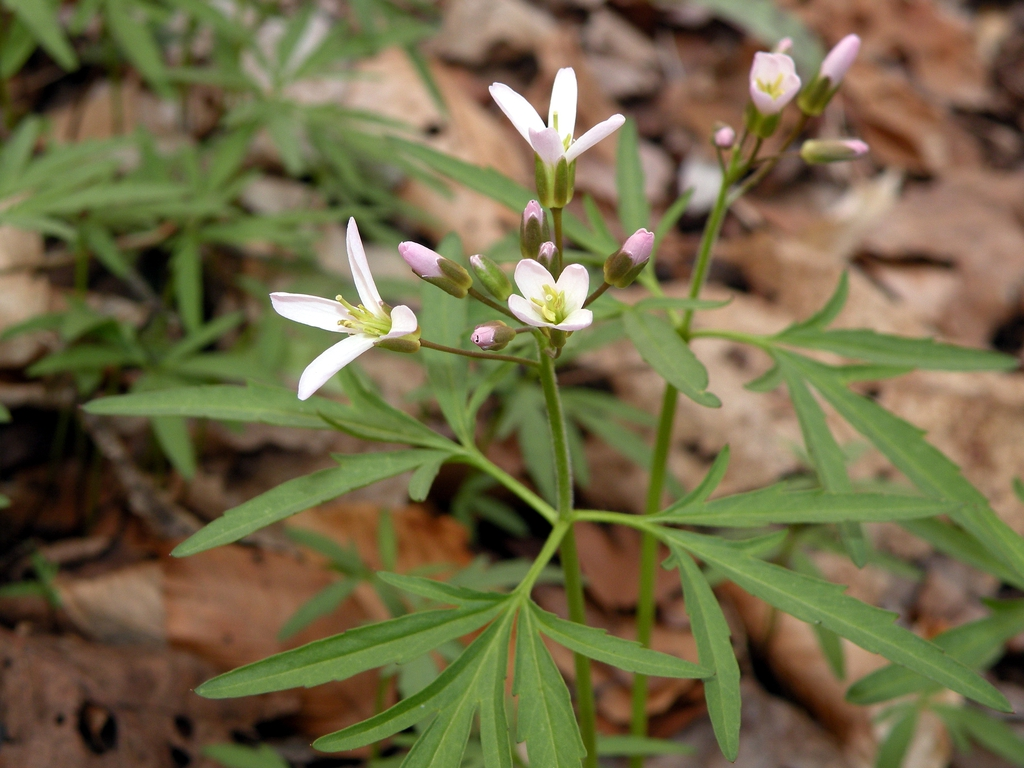 Cardamine concatenata leaves and flowers