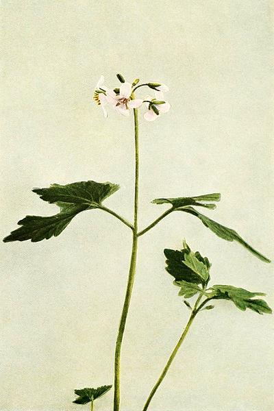 Cardamine diphylla