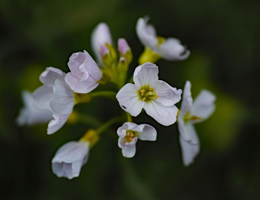 Cardamine pratensis flowers