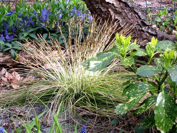 Carex morrowii var temnolepis 'Silk Tassel'
