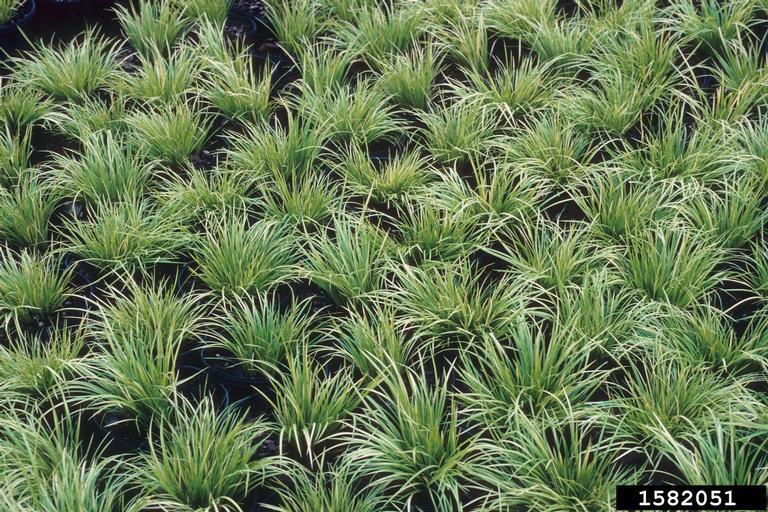 Carex morrowii var. temnolepis 'Silk Tassel'