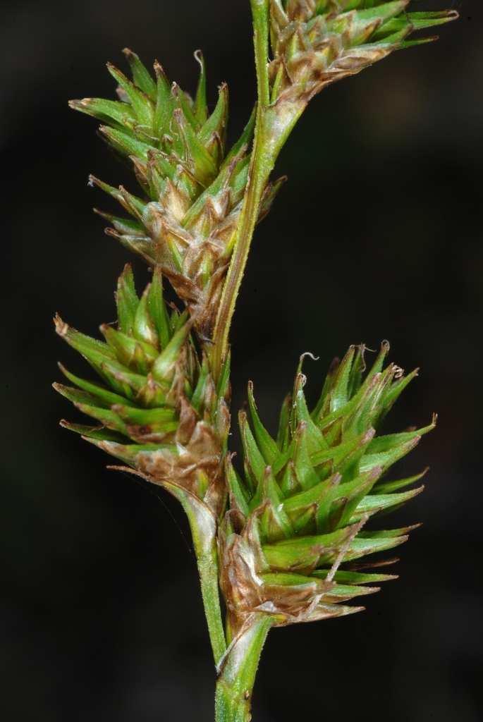 Multi-branched inflorescences (Yancey County, NC)-Mid Summer