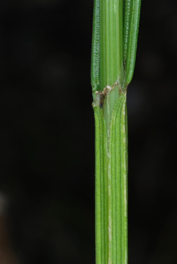 Angular green stem (Yancey County, NC)-Mid Summer