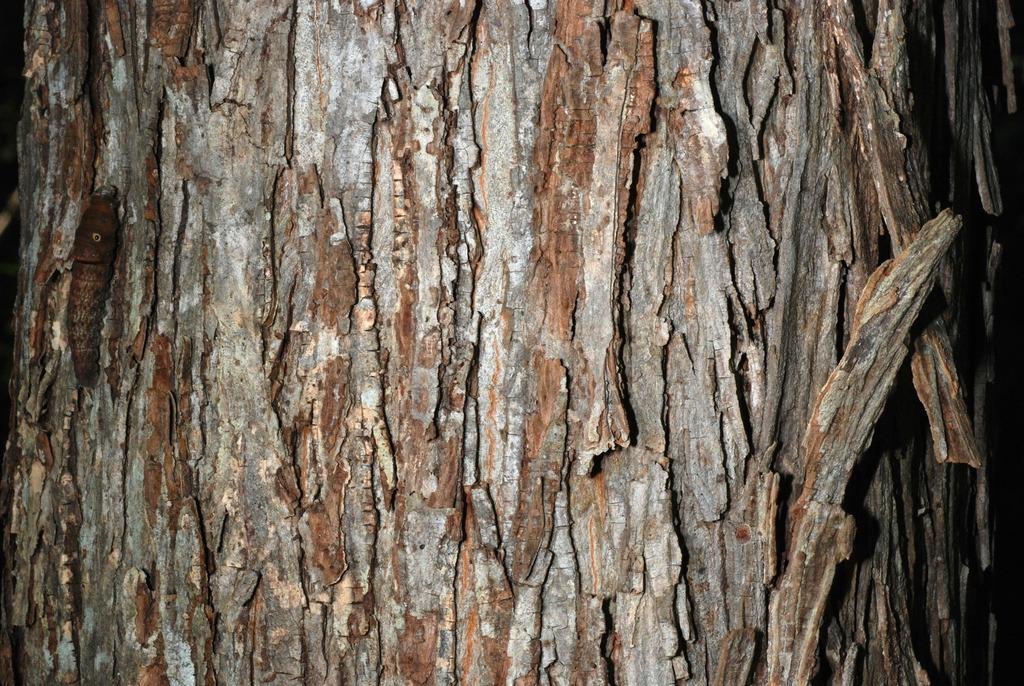 Shaggy bark (North Carolina, US)-Early Fall