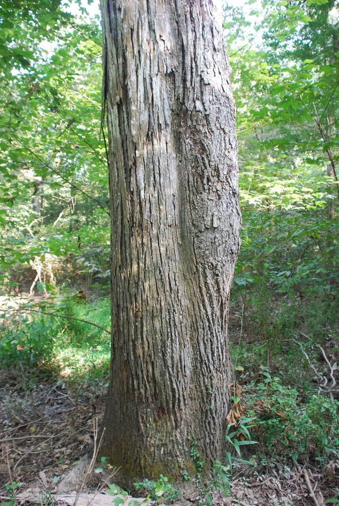 Tree trunk (North Carolina, US)-Early Fall