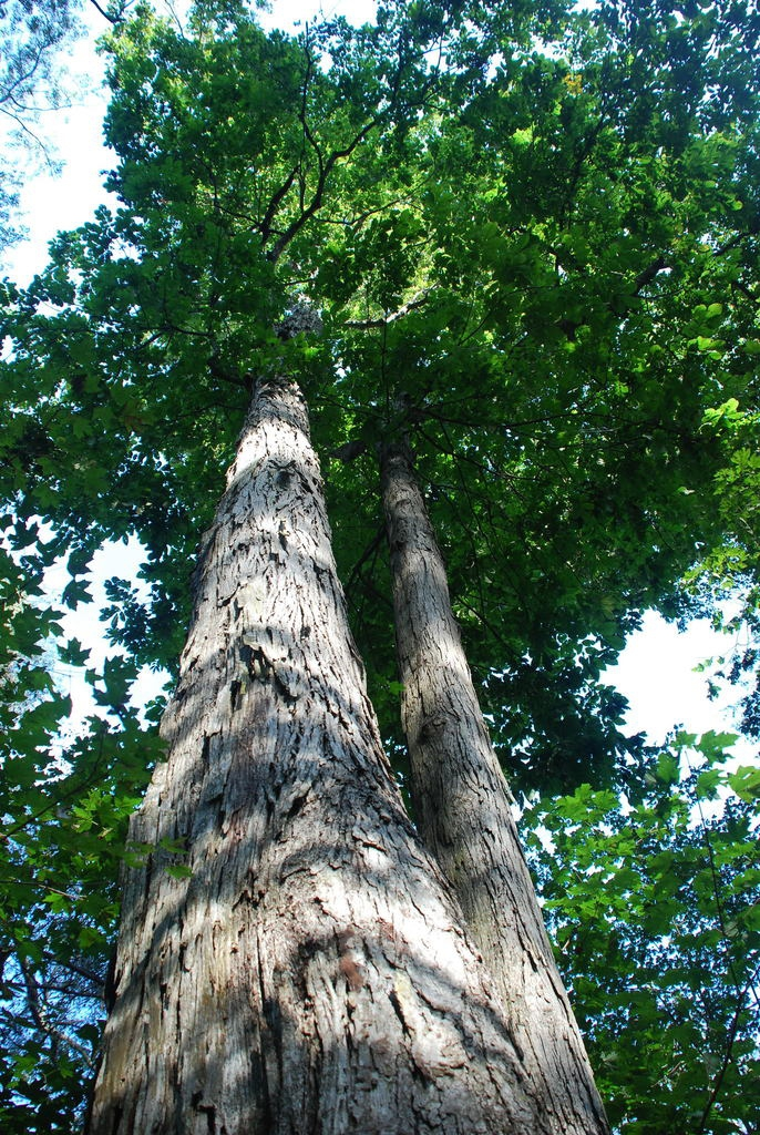 Form looking up (North Carolina, US)-Early Fall