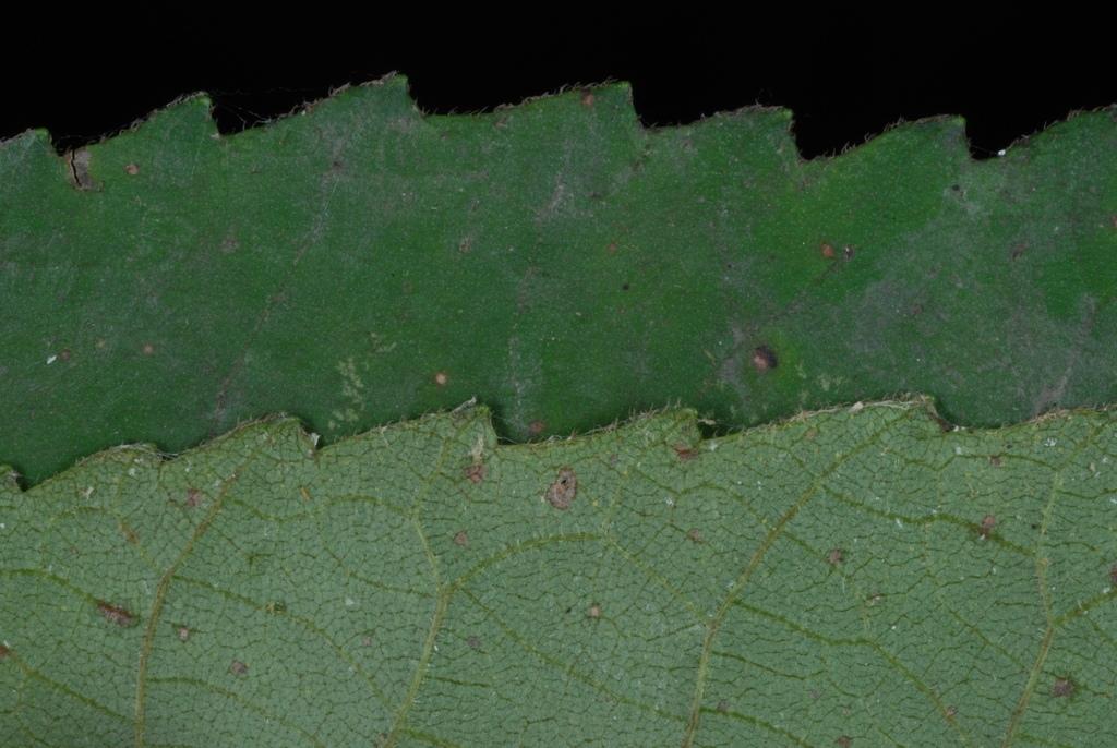 Serrated margin (North Carolina, US)-Early Fall