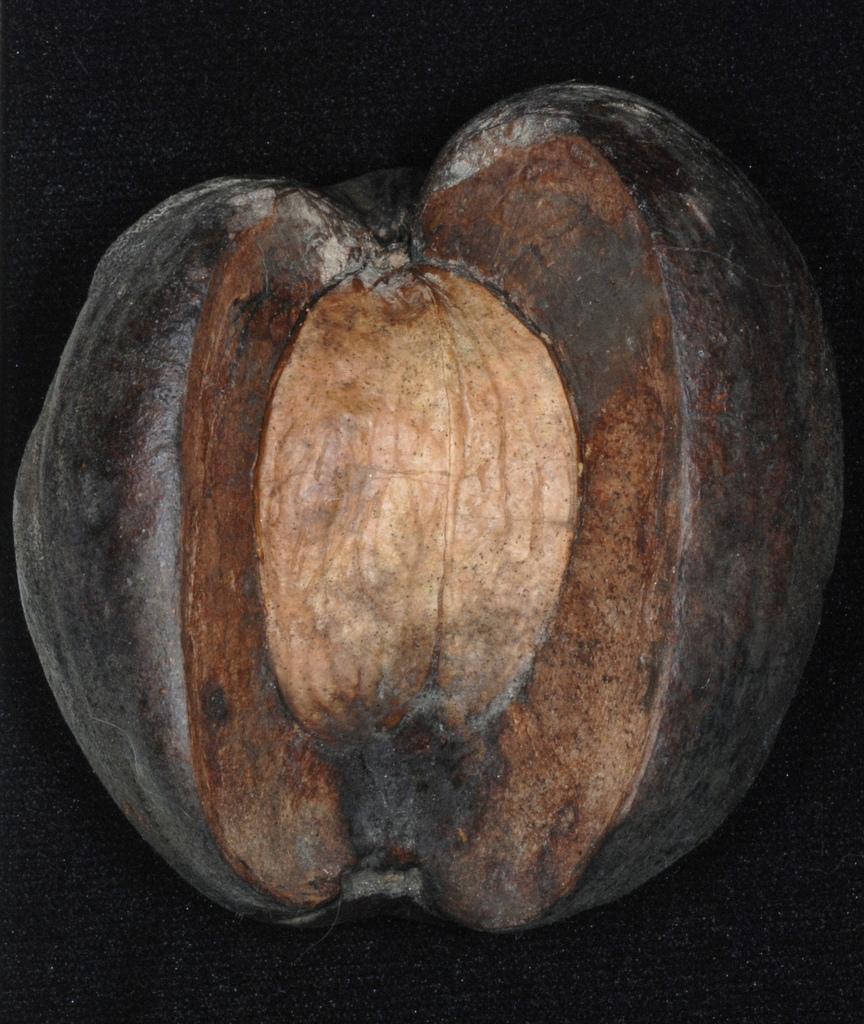 Husk with nut inside (North Carolina, US)-Early Fall