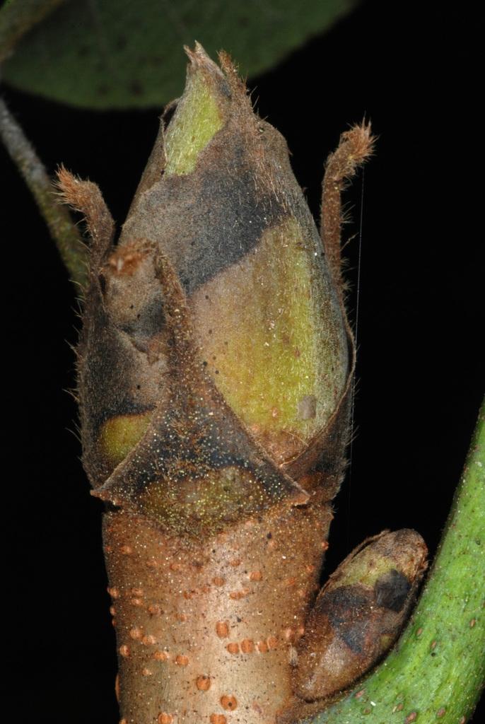 End bud (North Carolina, US)-Early Fall