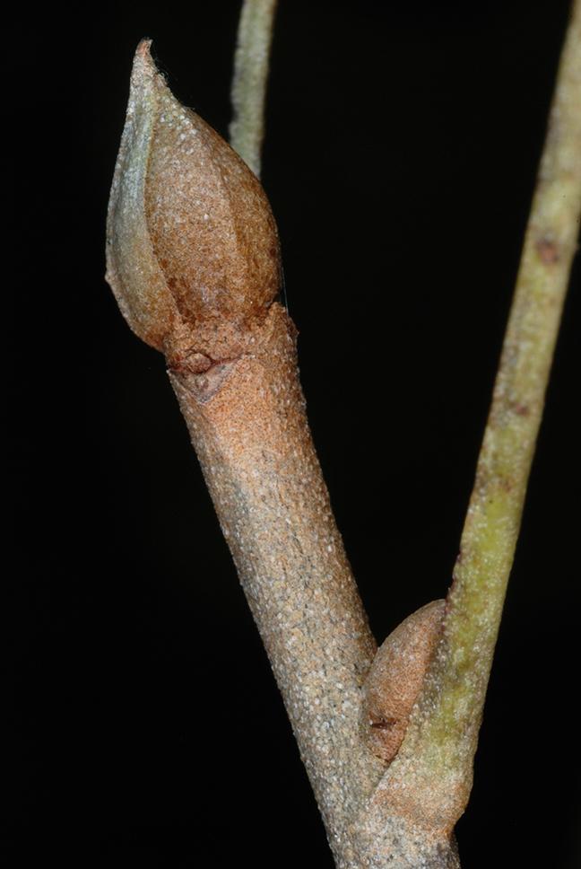 End bud (Pickens County, AL)-Mid Fall