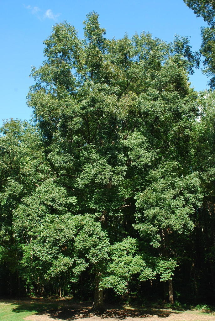 Tree form (Guilford County, NC)-Early Fall