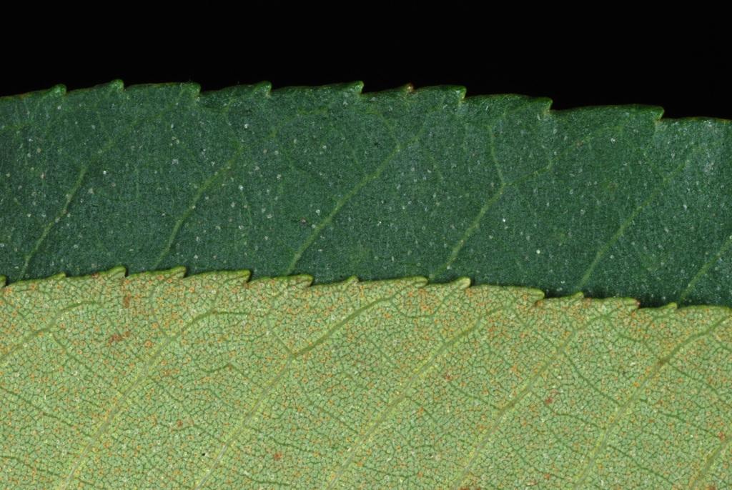 Serrated margins (Seven Lakes, NC)-Early Fall